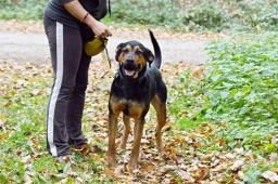 ARON - Ovčák x Rotvajler - pes 15 měsíců.