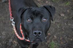 PRINC - Stafordšírský teriér x - pes štěně