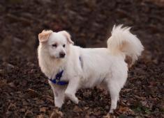 OLDA - Německý špic 10 kg - kastrovaný pes 9 let.