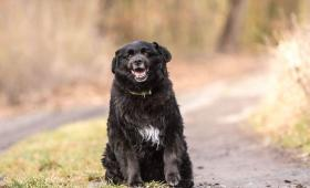 BERTÍK - Špic x 13 kg - kastrovaný pes 9 let