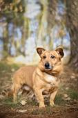 ČERTÍK - Jezevčík x kříženec - pes cca 7 let.
