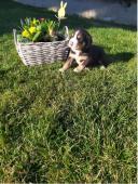 Šteniatka Veľký švajčiarsky salašnícky pes