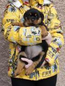 Rotvajler - rottweiler štěně fena s PP