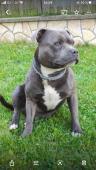Stafordšírsky bulteriér - pes na krytie