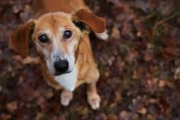 DOBÍK - kříženec - pes 13 let.