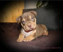 American bully s PP ABKC