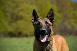 MARCUS - Belgický ovčák s PP - pes