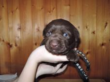 Čokoládová štěňátka labradora s PP