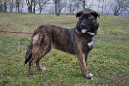 HAPPYNA - Německý ovčák x Bull - štěně fena