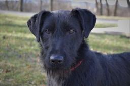 BERT - Knírač x Teriér - pes štěně