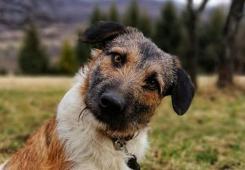 ALFI - kříženec 20 kg - kastrovaný pes 2 roky.