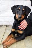 DOUGLAS - Dobrman x Beauceron - štěně 8 měsíců