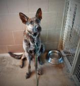 BOJAR - Německý ovčák - pes 2,5 roku