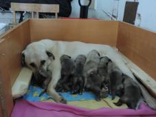Prodám štěňátka - pasvevecký pes - Kangal s PP