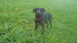 PERLA - Labradorský retrívr menší x - štěně fena