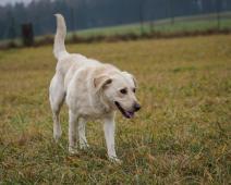 ŠMUDLA - Labradorský retrívr x pes 1 rok