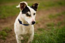 JANÍK - Jack Russel teriér x - štěně pes