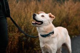 GORO - Ovčák x - pes 10 měsíců