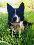 BERCY - Karelský medvědí pes - štěně pes