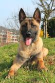 KAIRO - Belgický ovčák x kříženec - pes 3 roky.