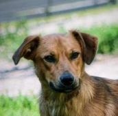 ROBIN - kříženec - kastrovaný pes 2 roky.