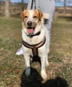 SIMBA - kříženec 21 kg - pes 4 roky.