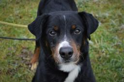 DEVIL - Entlebuchský salašnický pes x - pes