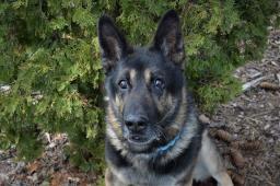 BRIT - Německý ovčák - pes 10 let.