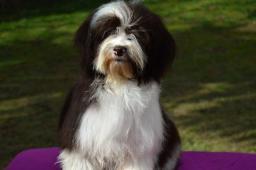 Havanský psík s PP