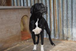 DASTY - Labradorský retrívr x - pes 2 roky.