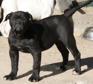 Big Bad Black Boy štěně