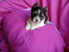 jorkšírský teriér, yorkshire terrier