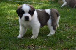 Svatobernardský pes - Bernardýn s PP