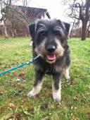 DRACO - Knírač x kříženec 17 kg - pes 1 rok