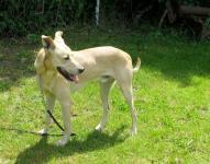 OLDA - kříženec - kastrovaný pes, 8 let.