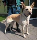 ARMÍNA - Švýcarský ovčák x - fena 5-6 let