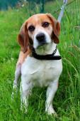 BARYNEK - Bígl - kastrovaný pes 10 let