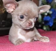 Prodám štěňátka mini čivavy