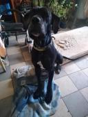Daruji německou dogu
