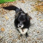 MÍŠA - Špic x kříženec - pes, 17 let.