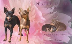 Zadám štěňata Pražského krysaříka
