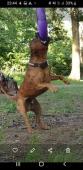 Mladý krycí pes