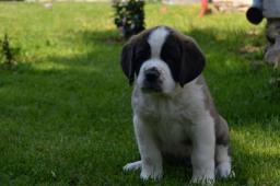Svatobernardský pes s PP ( Bernardýn)