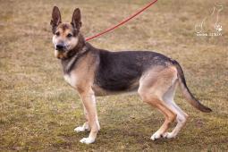 ROLF - Německý ovčák x kříženec - pes 10 let.