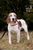 DRAHOŠ - Bígl x kříženec - pes cca 7 let.