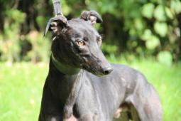 greyhound - společník