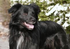 Pyrenejský ovčák s PP - štěně