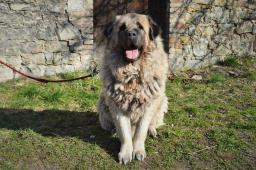 KIM - kavkazský pastevecký pes x - pes 5 let