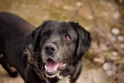 JOHAN - Labradorský retrívr - pes