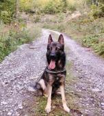 DON - Německý ovčák - pes 4 roky